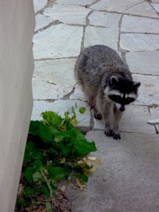 raccoon-visitor